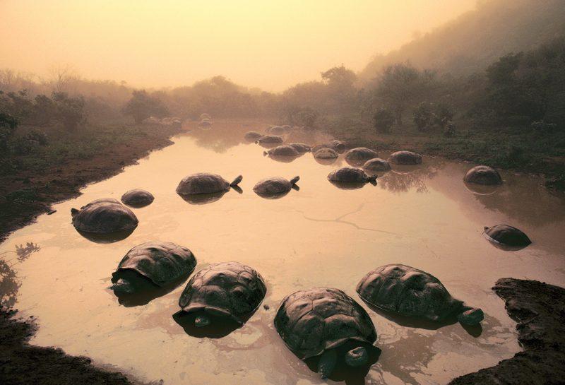 Giant tortoises at Dawn, Galapagos Islands © Frans Lanting/www.lanting.com