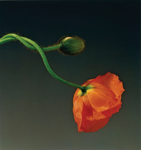 Robert Mapplethorpe Poppy, 1988 Dye imbibition print Image: 50.32 x 47.47 cm (19 13/16 x 18 11/16 in.); Frame: 72.39 x 85.09 cm (28 1/2 x 33 1/2 in.) Jointly acquired by the J. Paul Getty Trust and the Los Angeles County Museum of Art; Partial gift of the Robert Mapplethorpe Foundation; partial purchase with funds by the J. Paul Getty Trust and the David Geffen Foundation. © Robert Mapplethorpe Foundation